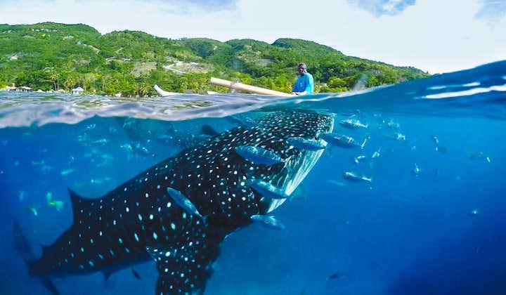 Whale Shark watching at Oslob, Cebu