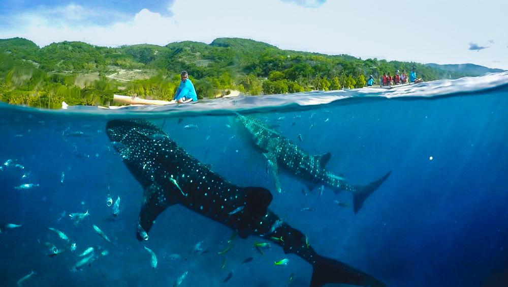 Cebu Oslob Whale Shark Encounter & Kawasan Falls Tour with Lunch & Transfers from Cebu City - day 1
