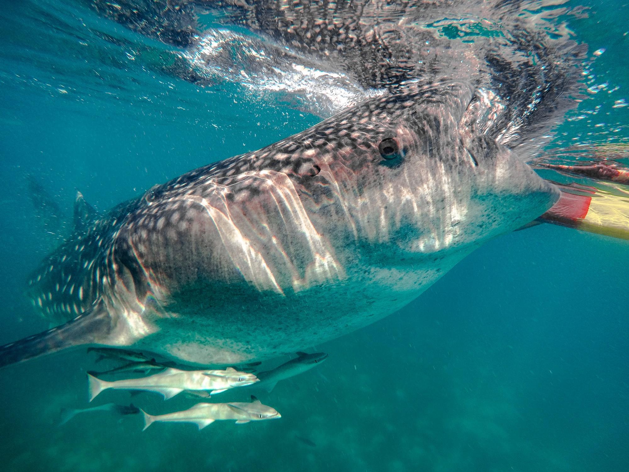 Whale Shark Feeding in Oslob | Badian Canyoneering Adventure + Whale Shark Encounter | Cebu Day Tour
