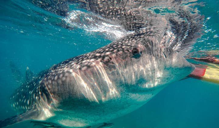 Whale Shark Feeding in Oslob   Badian Canyoneering Adventure + Whale Shark Encounter   Cebu Day Tour