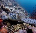 Turtle in Moalboal Cebu Philippines