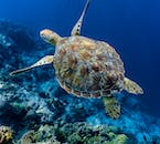 Sea Turtle in Pescador Island