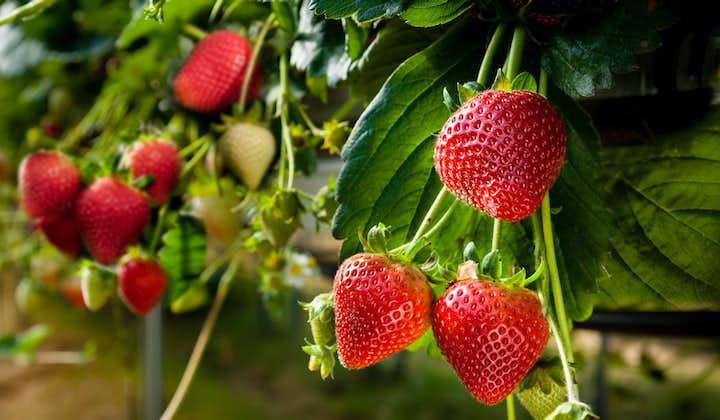 Strawberries in Benguet