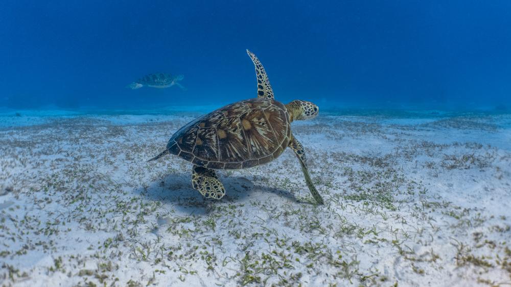 Balicasag Island Bohol Half-DayTour | With Transfers - Sea Turtle swimming