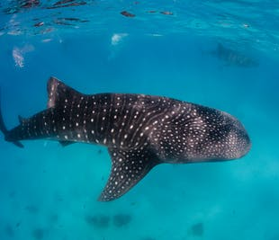 Swim with Donsol Whale Sharks | With Picnic Lunch & Transfer