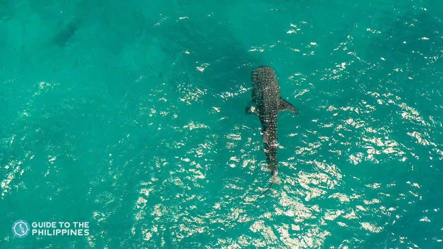 Whale shark in Donsol, Philippines