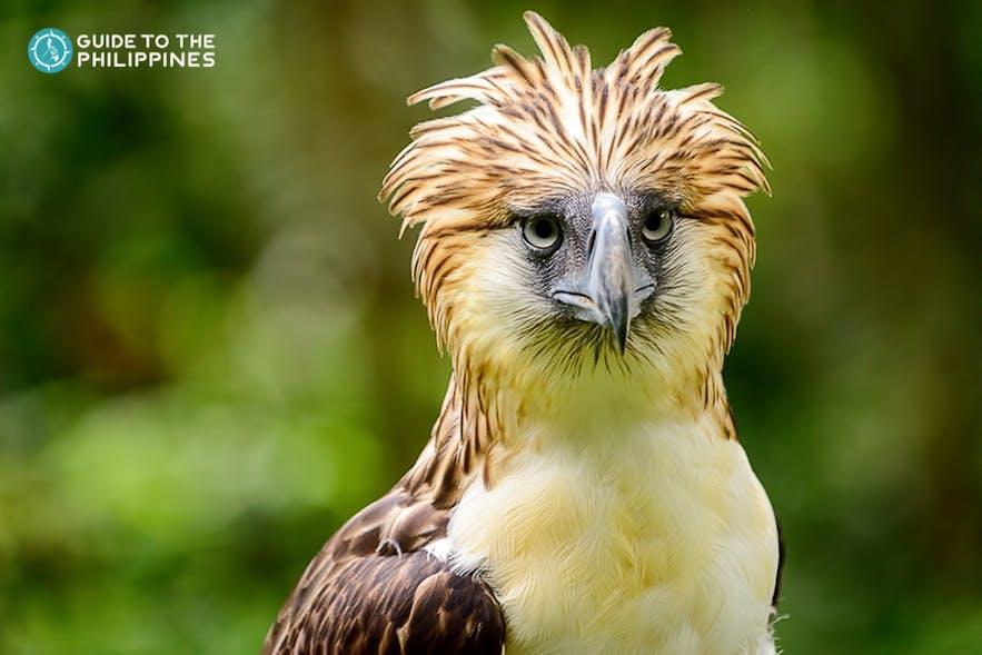 Philippine eagle in Davao, Philippines