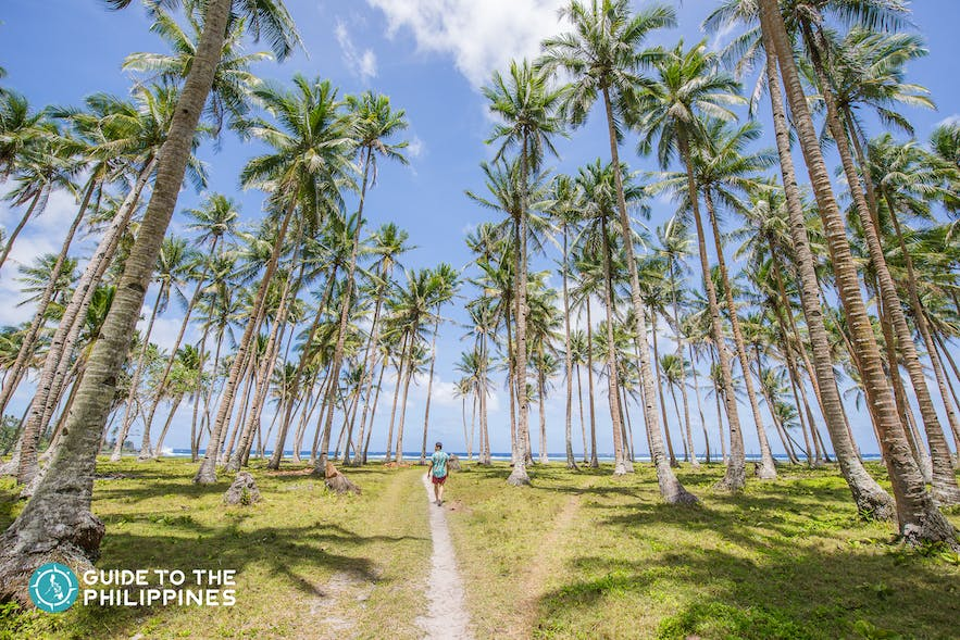 Coconut trees in a Siargao beach in the Philippines