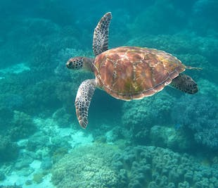 Snorkeling in Apo Island Day Tour | Hotel Pick-up from Dumaguete