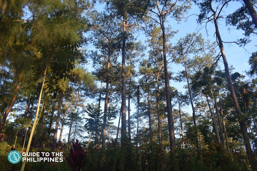 pine tree forest inside Camp John Hay