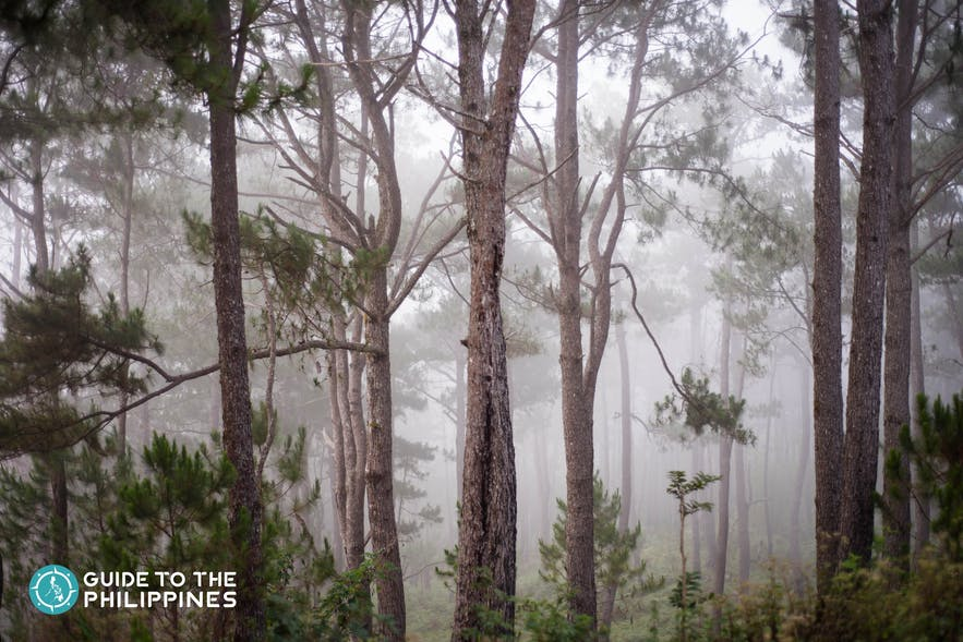 Pine trees and cold weather in Sagada