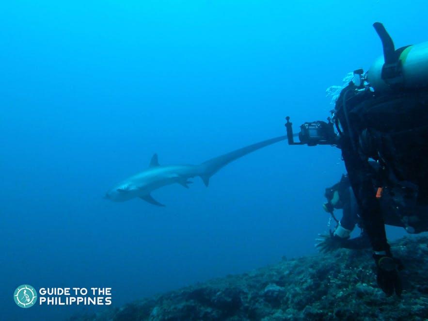 Diver spotting a thresher shark in Malapascua Island