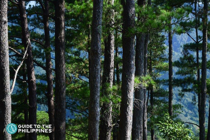 Bucari Pine Forest in Iloilo