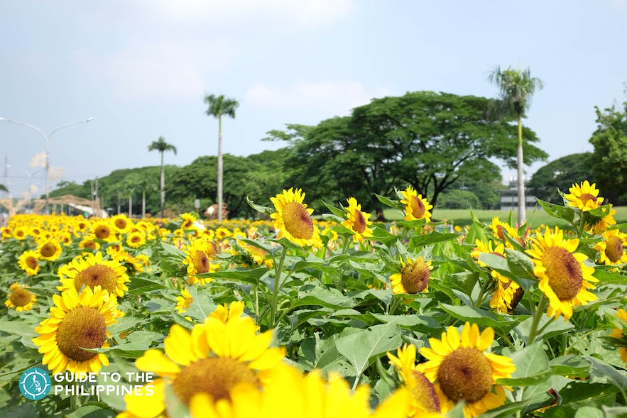 Sunflowers in bloom at the University Avenue, UP Diliman