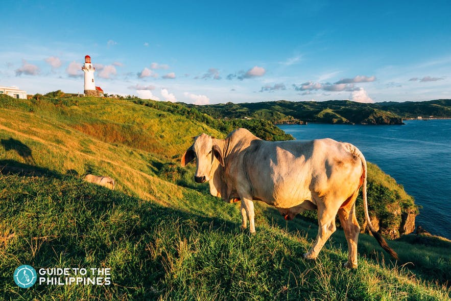 Cow strolling around Vayang Rolling Hills in Batanes, Philippines