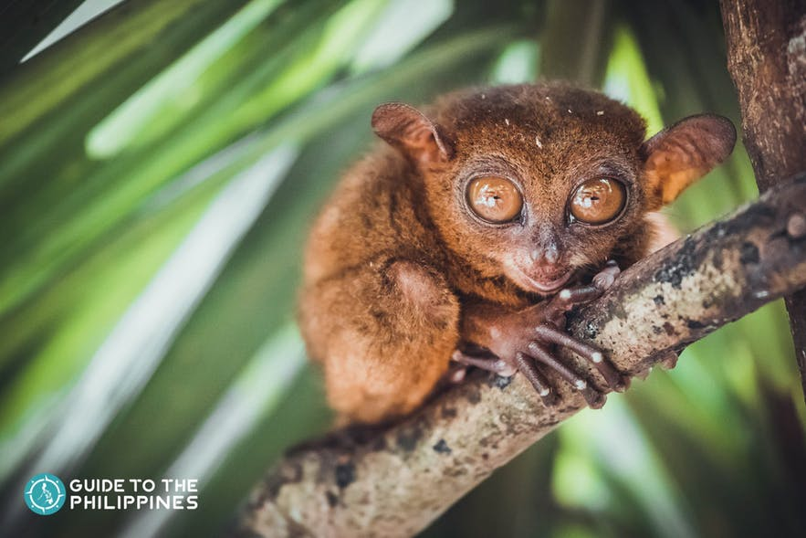 Tarsiers are nocturnal and considered the smallest primates in the world