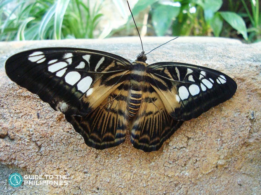 Butterfly from Bohol's Butterfly Sanctuary