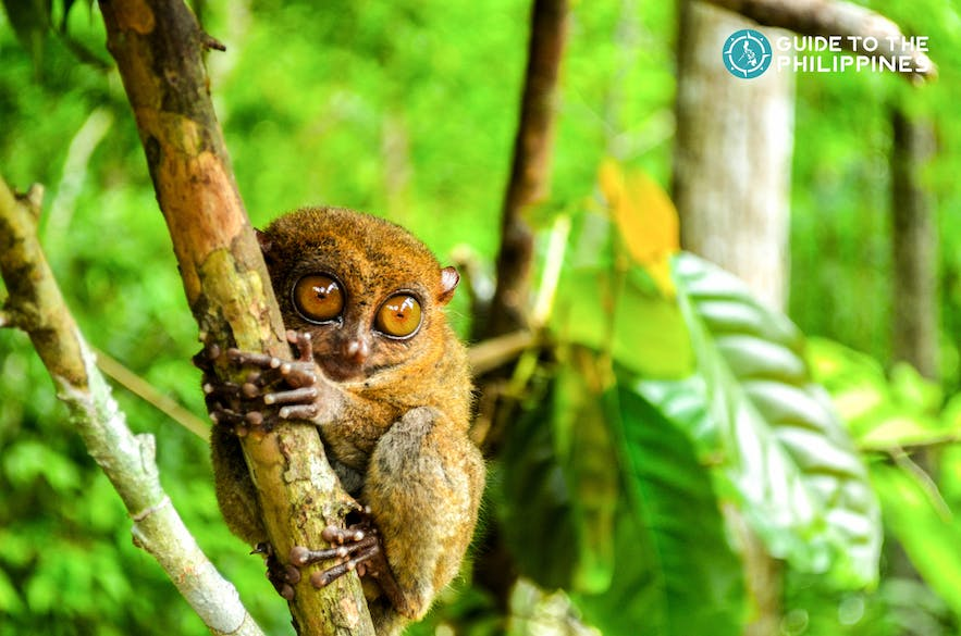 Tarsiers are small animals with big, round eyes that feed primarily on insects