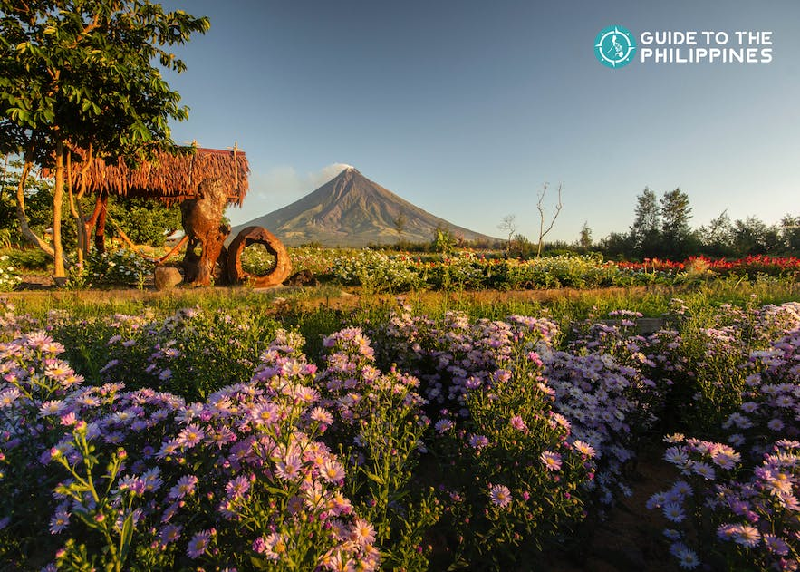Bed of flowers with a view of the perfect cone-shaped Mt. Mayon of Legazpi City in Albay, Philippines