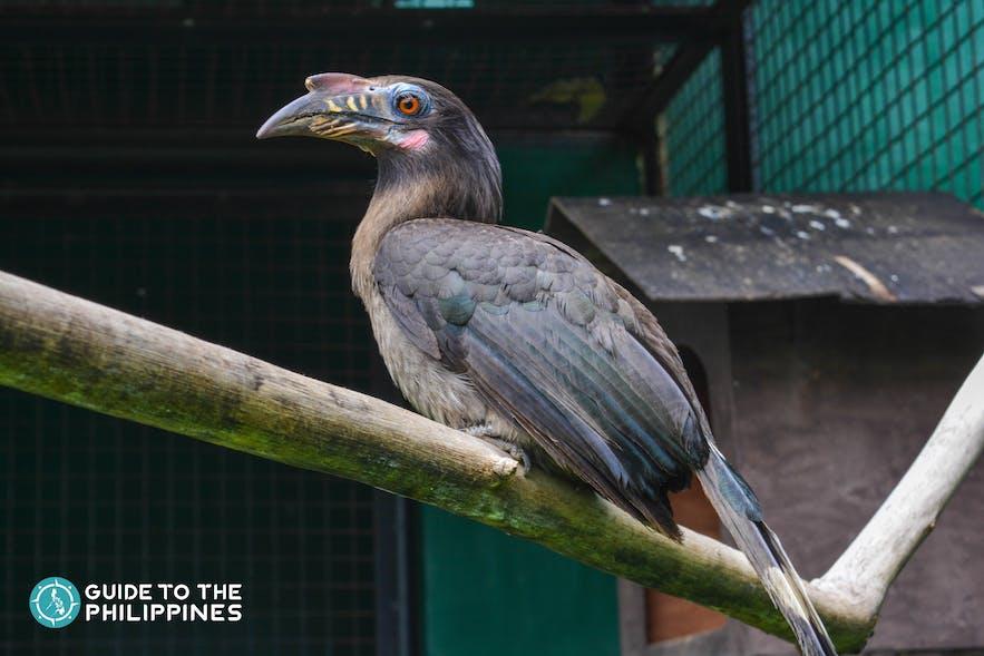 A Tarictic Hornbill at Albay Park and Wildlife in Legazpi City, Albay