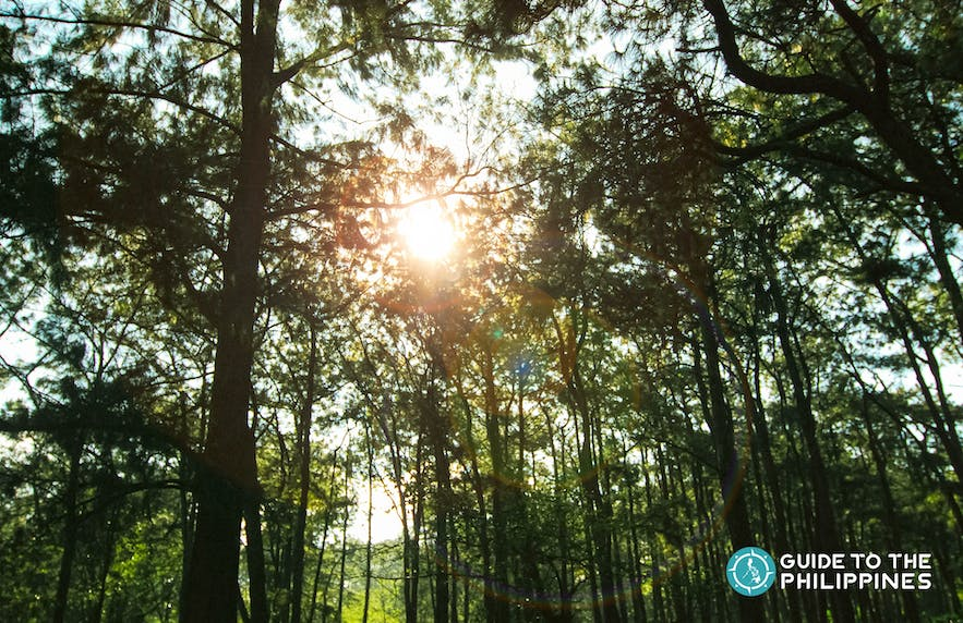 Sunray through the pine trees of Baguio, The Summer Capital of the Philippines