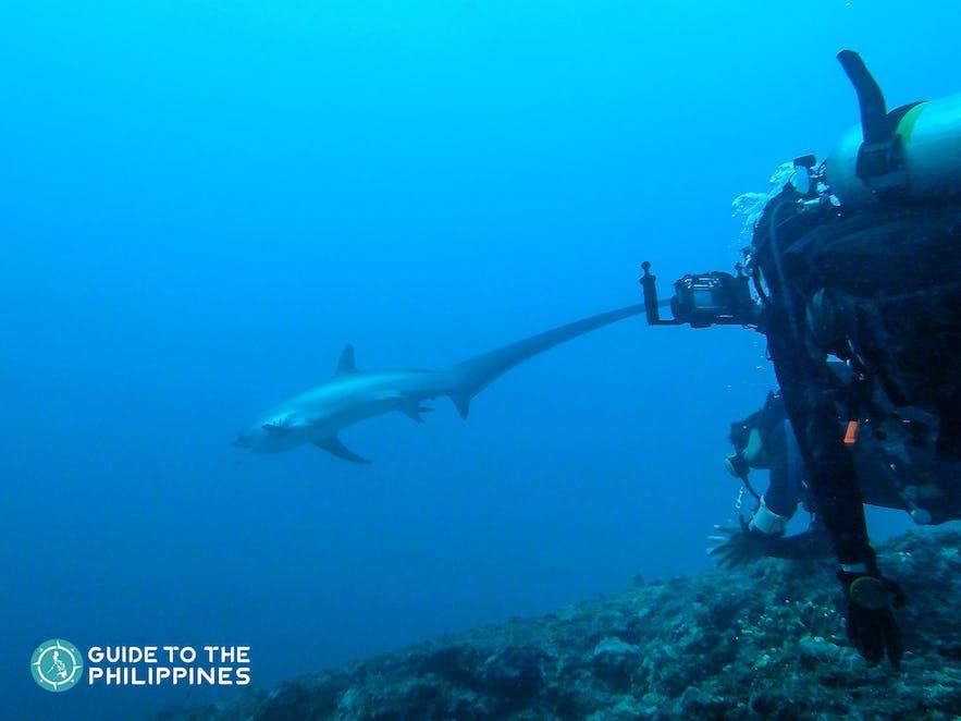 Diver spotting a Thresher shark in Malapascua Island, Cebu, Philippines