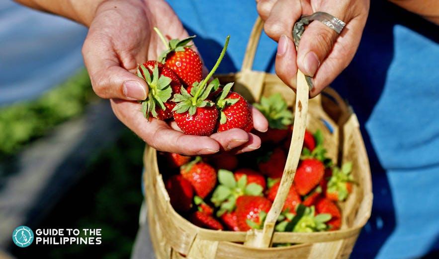 Strawberry-picking at La Trinidad Strawberry Farm in Benguet
