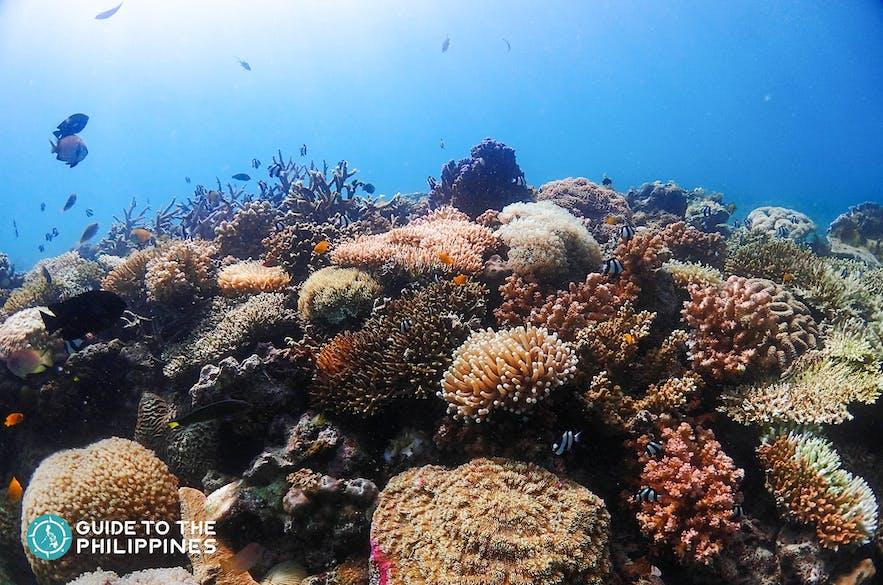 Coral reefs at Kontiki House Reef in Mactan, Cebu