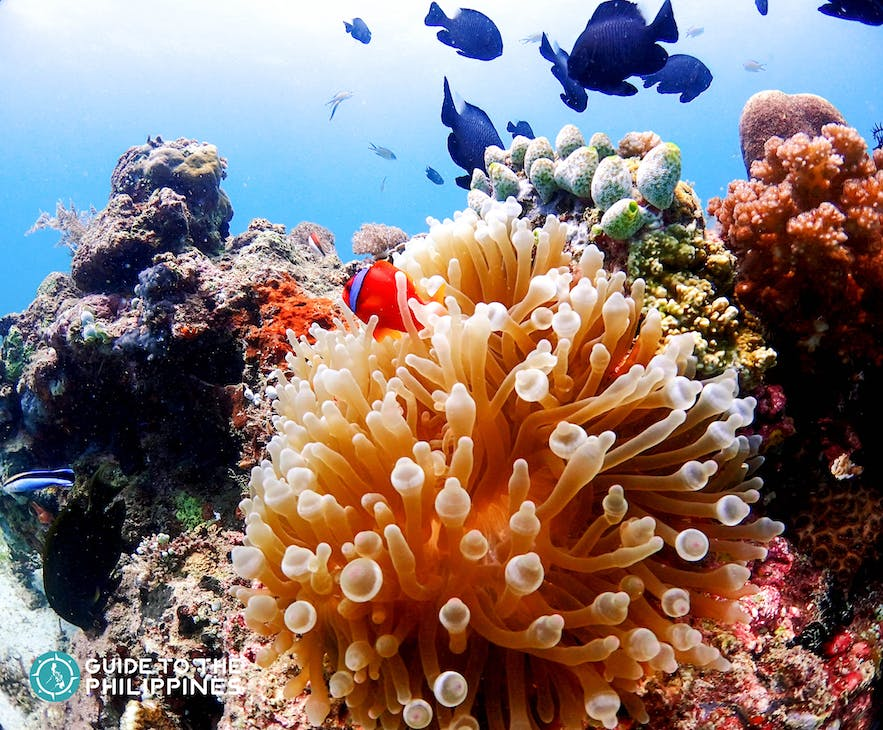 Colorful fishes & vibrant corals for Hilutungan Island in Mactan