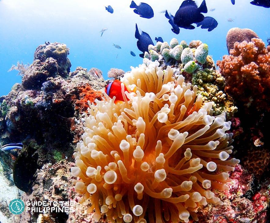 Colorful corals at Nalusuan Island Marine Sanctuary in Cebu