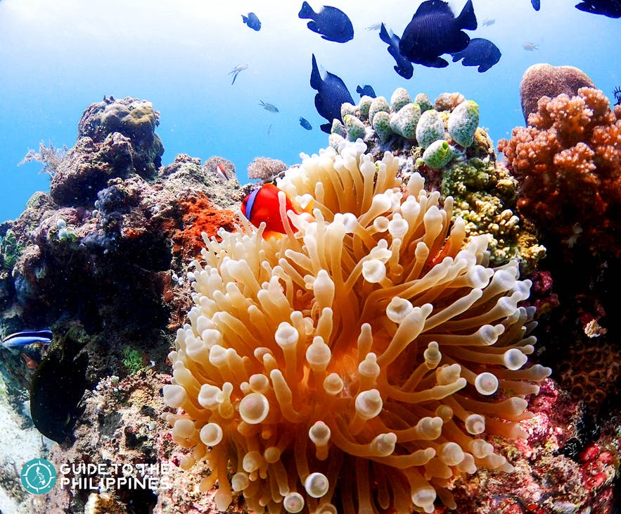 Colorful corals at Nalusuan Island Marine Sanctuary in Cebu