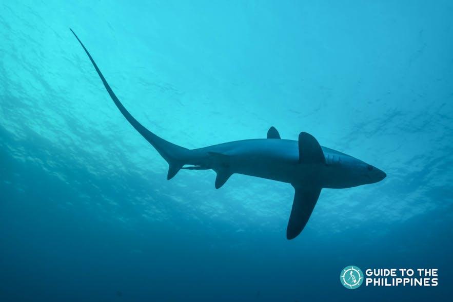 Thresher Shark in Malapascua, Cebu