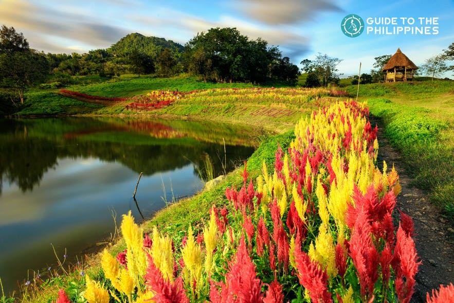 Beautiful flowers by the lake at Sirao Garden in Cebu, Philippines
