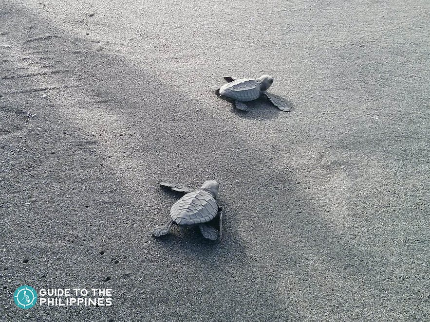 Sea turtle hatchlings at the Pawikan Conservation Center