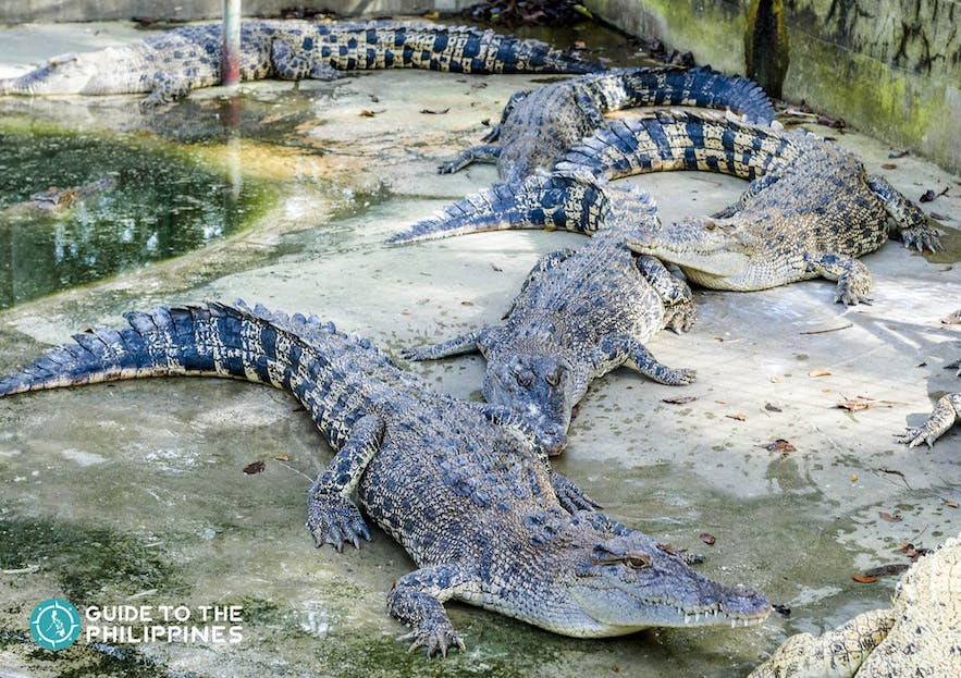 Bask of crocodiles at the Crocodile Park in Davao, Philippines
