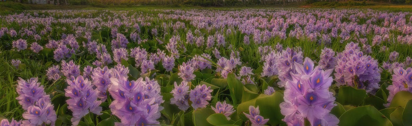Bed of flowers before Mayon Volcano in Legazpi, Albay