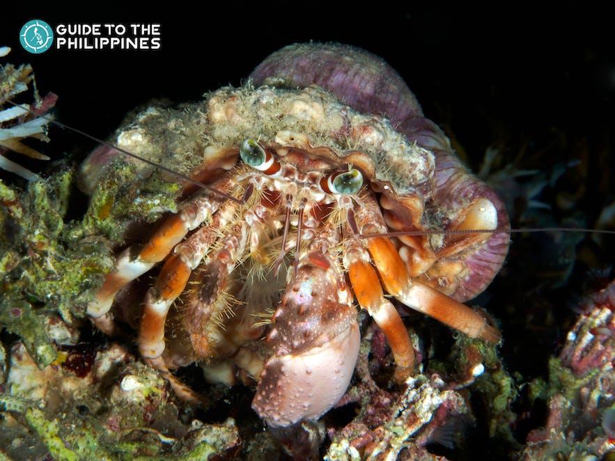 Anemone hermit crab in Bohol, Philippines