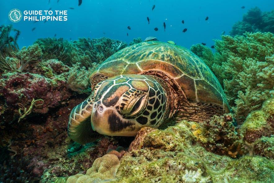 Sea turtle at Balicasag Island in Bohol, Philippines