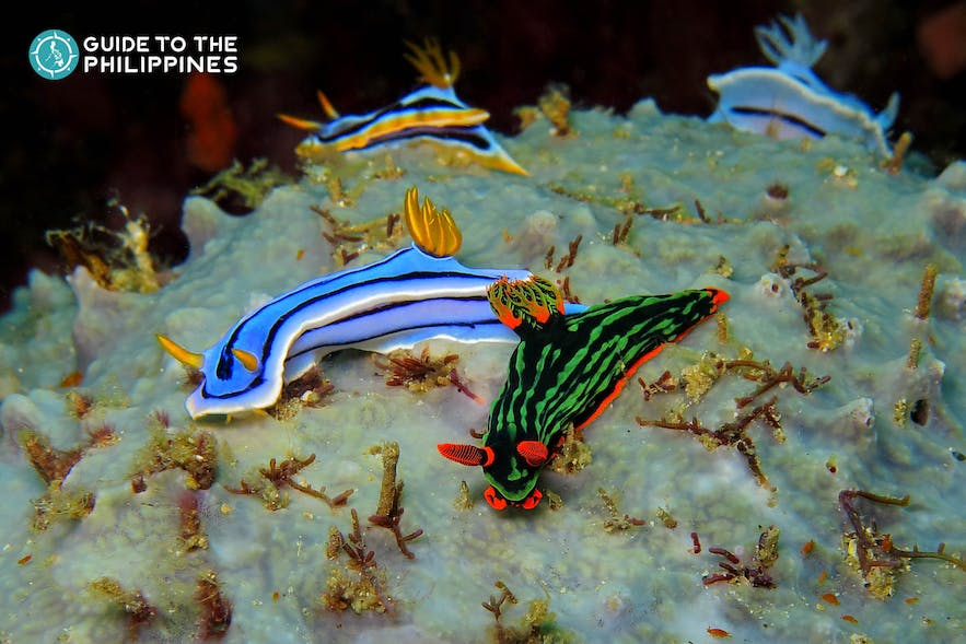 Colorful underwater nudibranch on the coral reef in Dauin, Dumaguete