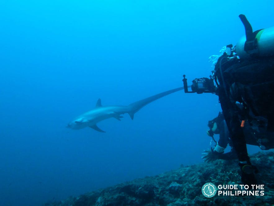 Diver taking photos of a thresher shark in Malapascua, Cebu