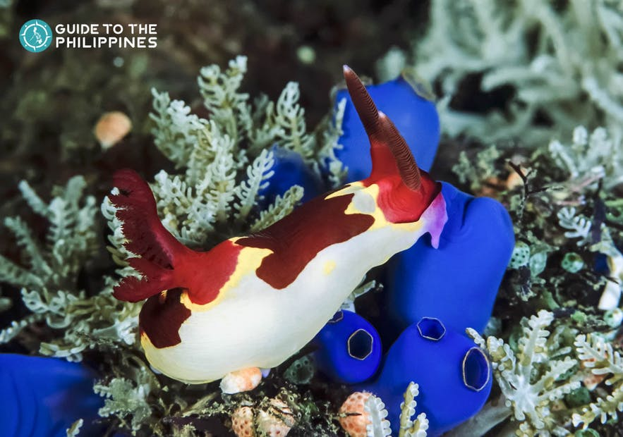 Nudibranchs in Balicasag Island of Bohol, Philippines
