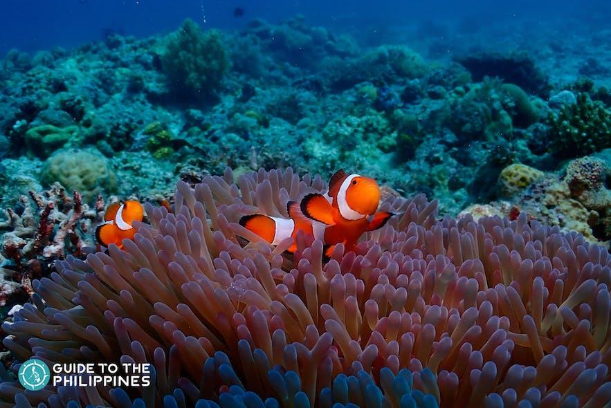 Marine life at Bugtong Bato, Malapascua Island