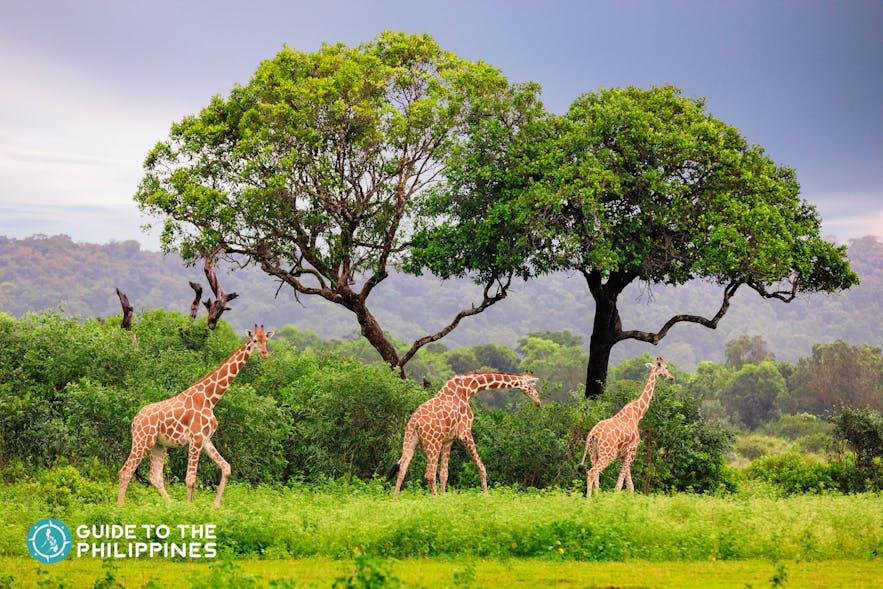 Tower of giraffes at Calauit Safari Park in Coron, Philippines