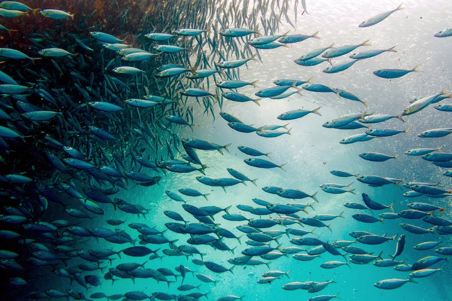 Sardine run at Moalboal, Cebu