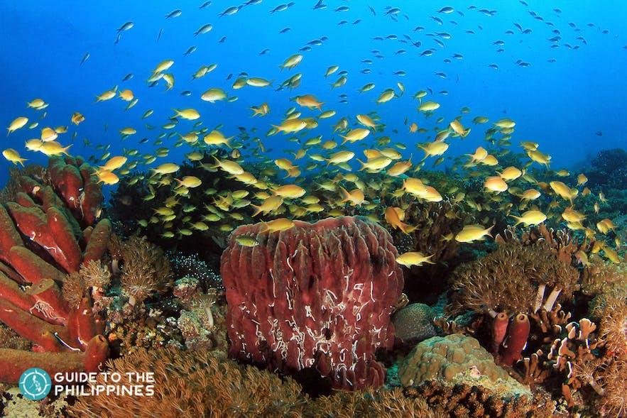 Marine life of Pescador, Moalboal