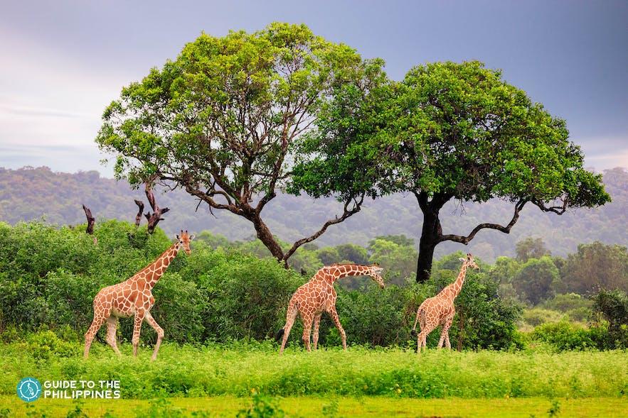 Tower of giraffes in Coron's Calauit Safari Park