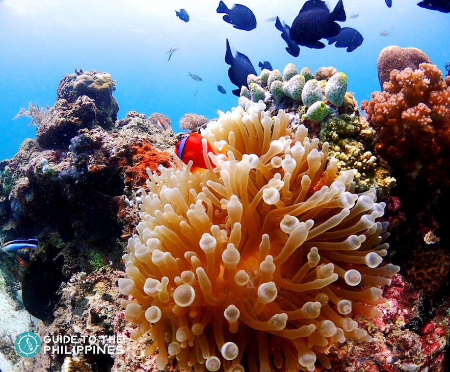 Diving in Orango, Mactan Island, Philippines