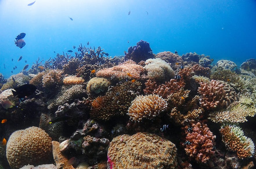 Rich, vibrant corals and fishes seen in Cebu diving spots