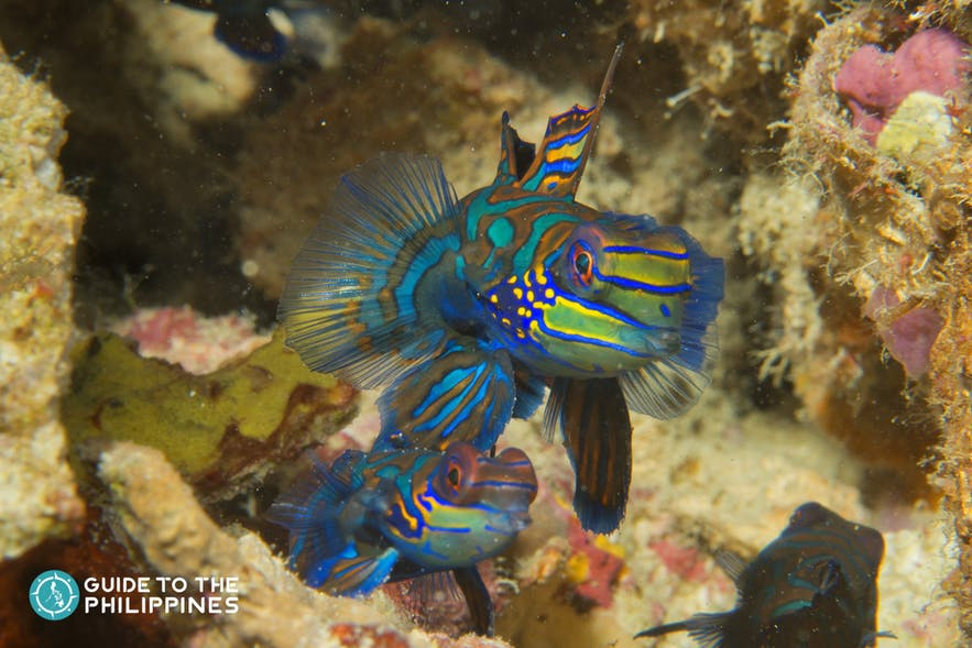 Mandarin fish in Malapascua dive spots