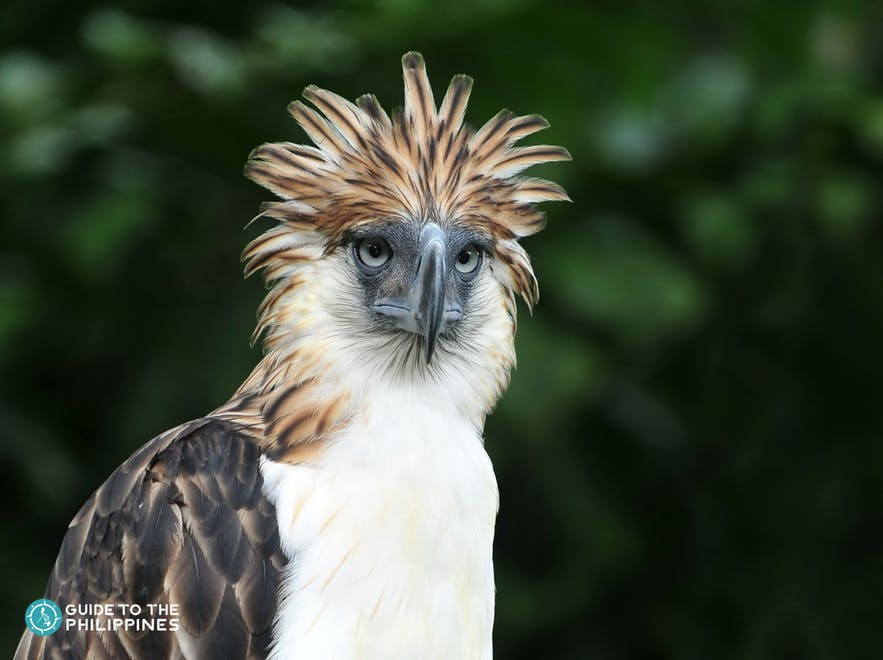 Monkey-eating eagle of Davao, Philippines